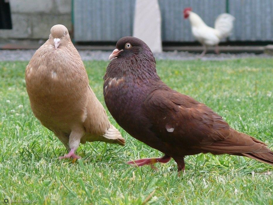 pouter pigeons - colorful pigeons