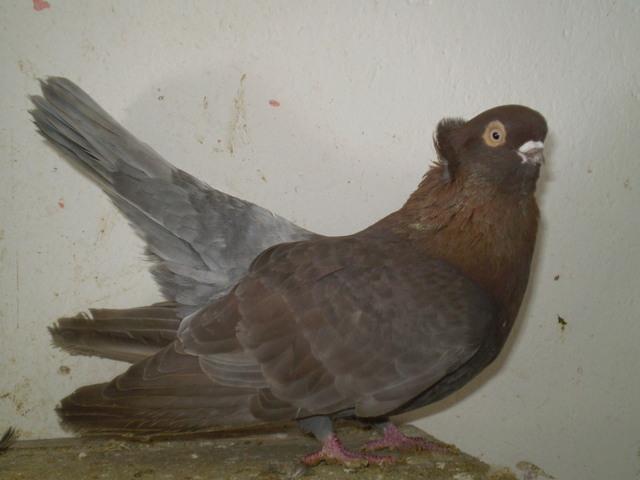 tumbler pigeons - brown - sulfur