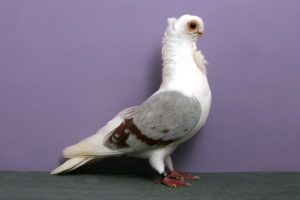polish owl pigeons