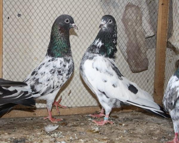 bankay -pigeons