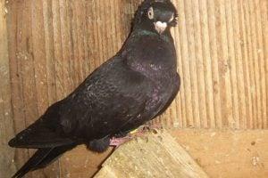 dubica pigeons