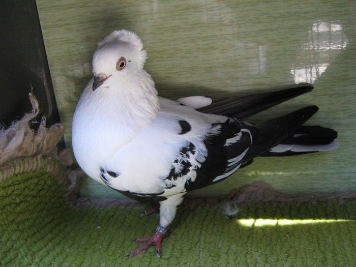 breeds - pigeons - roman
