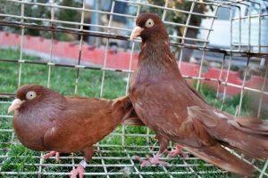 red donek pigeons
