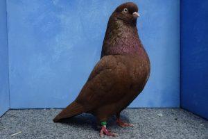 tumbler pigeons brown tumlber