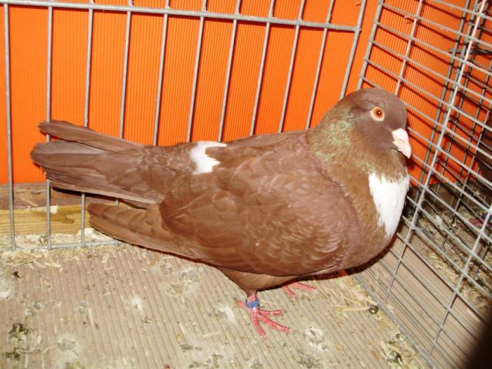 Les races de pigeons reconnues