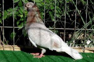 sf tumbler pigeons