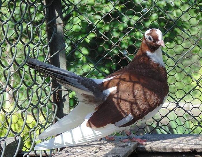 Rouleur de pigeons