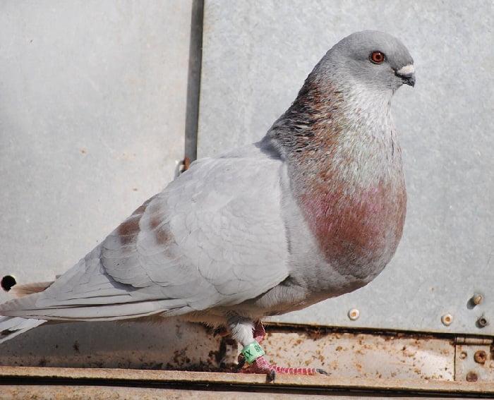 spanish pigeons- cropper