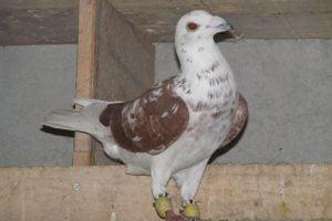 pigeons - fillo - turkish - homer