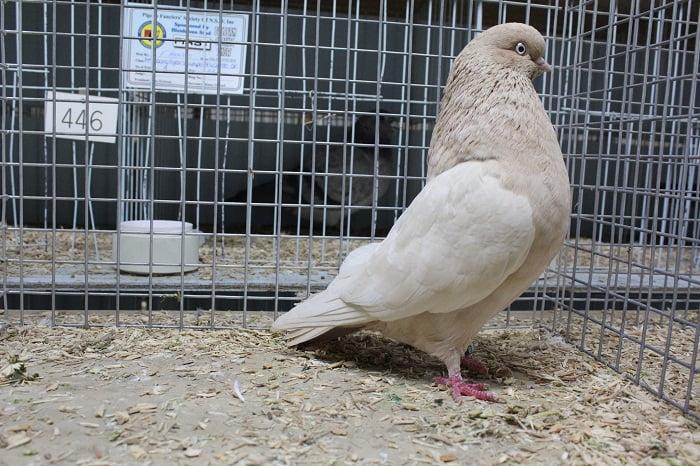 tumbler pigeons -australian