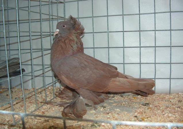 red pigeons muffed - crested