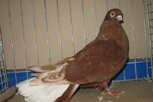 red white tail pigeons