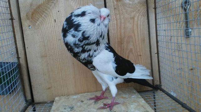 Boulant - pigeons