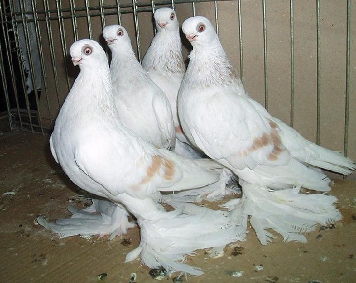 tumbler-pigeons
