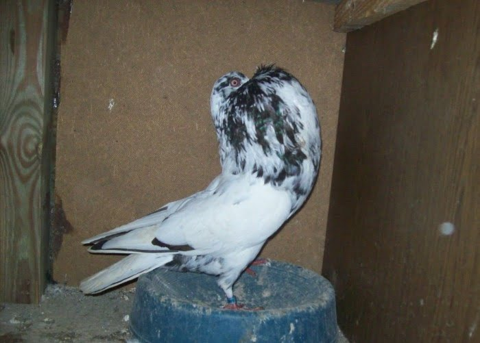 kröpfer pigeons