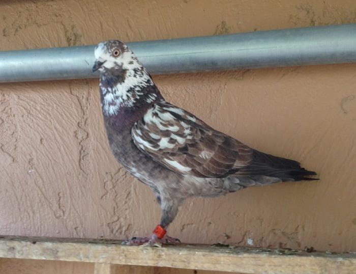 fliying tipplers - english tippler - tippler pigeons uk