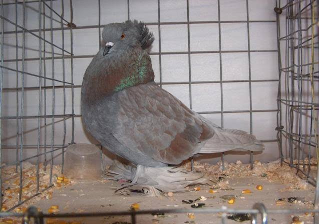 pigeons - rare fancy pigeon breeds
