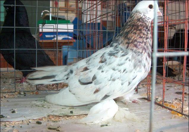 fancy pigeons - african pigeon