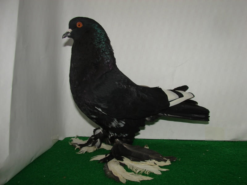 pure breeds - pigeons