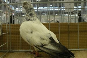 butterfly pigeons