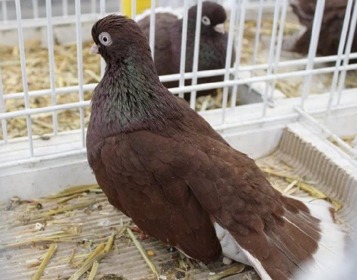 pigeons tumbler