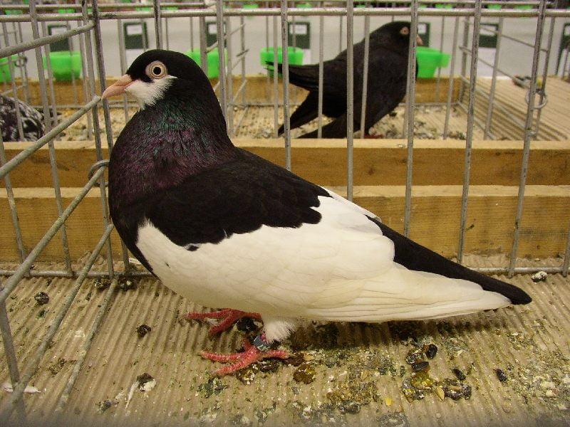 breeds -pair -dove