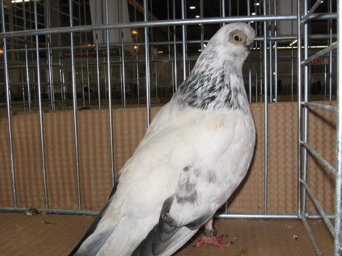 lithuanian pigeon breeds