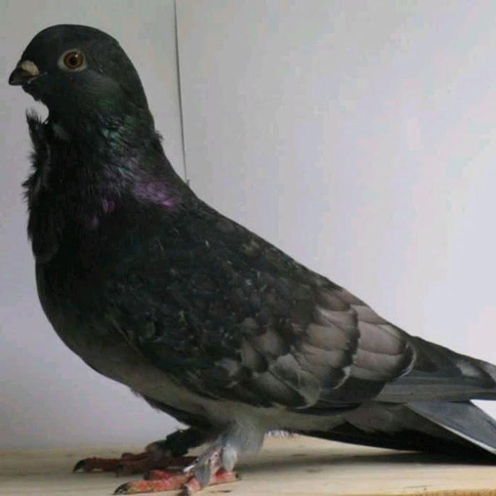 Cravate - pigeons