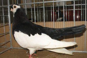 pigeons de tumbler