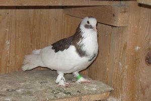 pigeon fancy