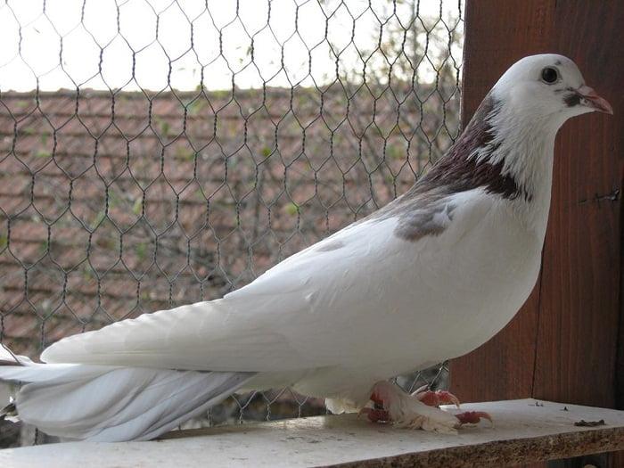 best pigeon