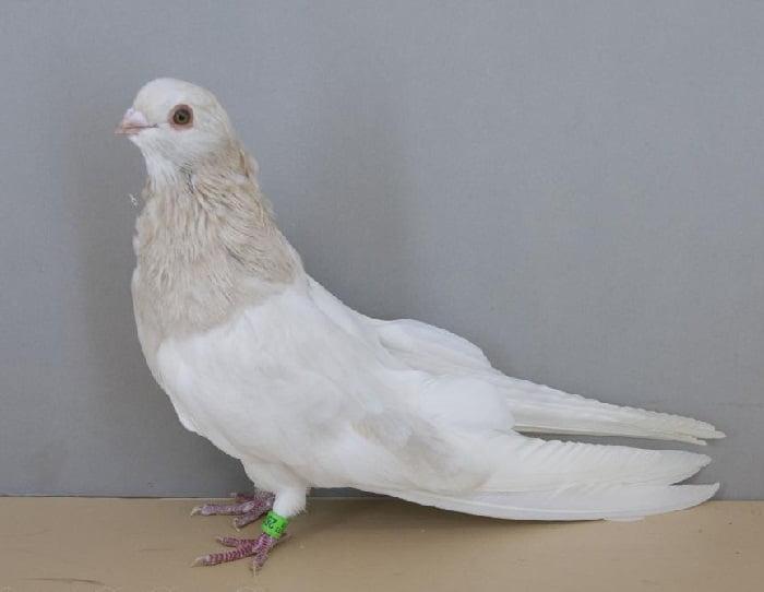 swift pigeons