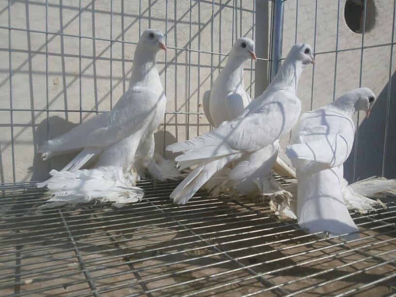 white pigeons - muffed tumbler
