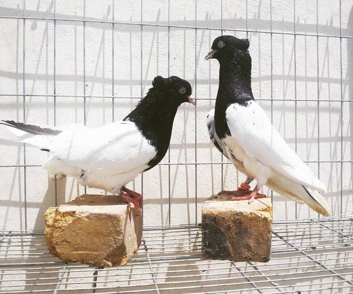 persian tumbler breeds