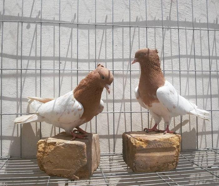 pigeontype - fanc pigeons