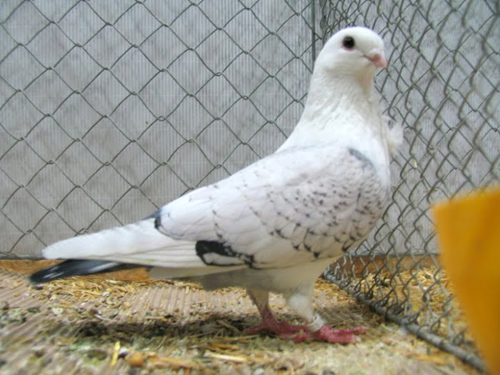 owl pigeons - german pigeons- hybrid pigeons - owl