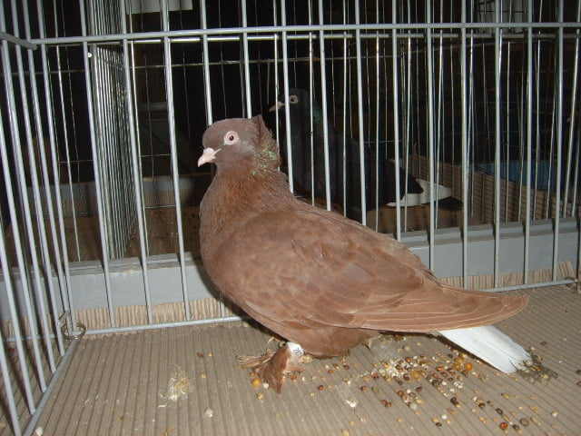tumbler pigeons - lithuanian tumbler