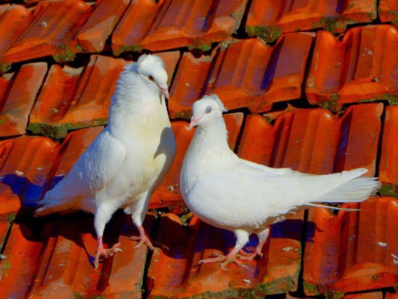 bulgarian pigeons - cirpan roller