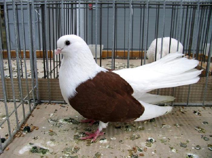 polish pigeons - 0polski rasy