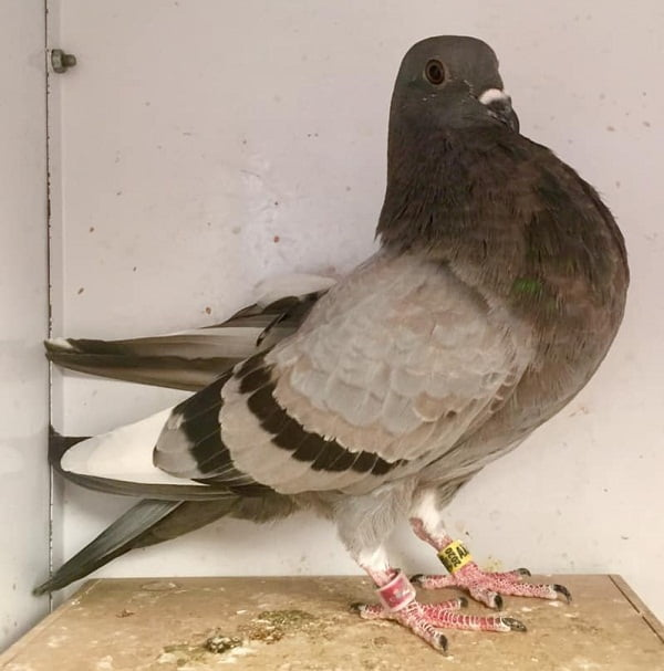 pigeons cropper - spanish