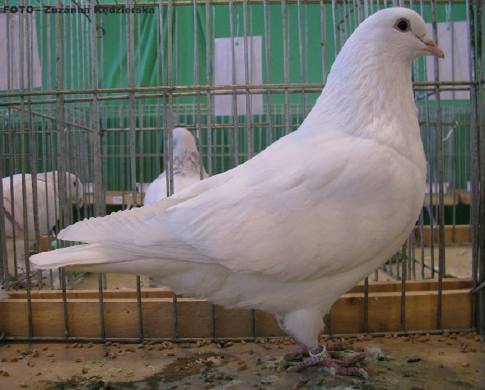 white - polish - meat - pigeons
