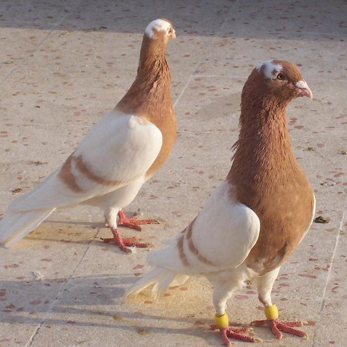 pigeons - form pigeons - turkish dewlap