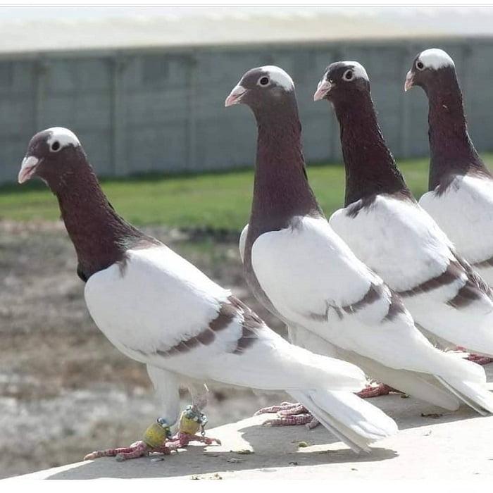 fancy pigeons - utility pigeons