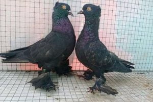 australian pigeons