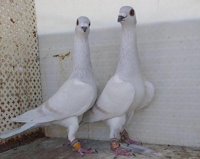 shafari - lubnan - turkish - pigeons