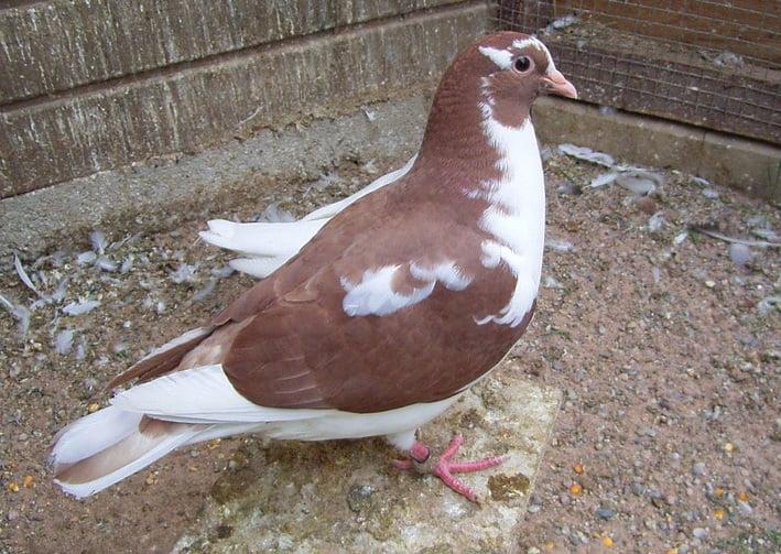 pigeons - meat pigeons