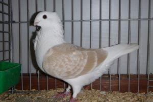 pigeon videos