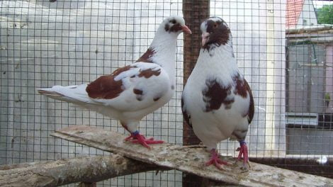 usa - meat pigeons - american - farming