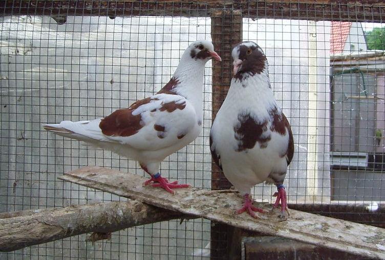 usa - meat pigeons - american - farming