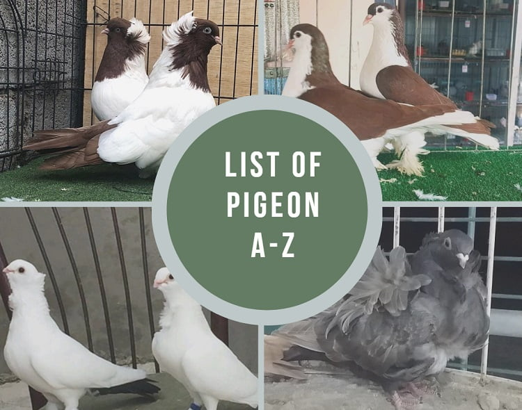 all pigoens - dometicated pigeons - homer pigeons - List of the breeds of fancy pigeons